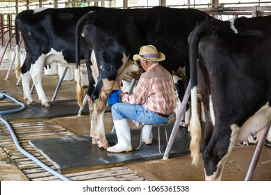 Bangkok Thailand:- February 3, 2018:- man hand milking a cow by hand, cow standing in the corral, dairy farm of Thailand.