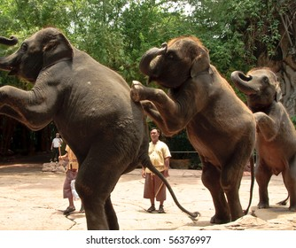 BANGKOK, THAILAND - MAY 25: These elephants stand on their rear legs in an elephant show at Safari world May 25, 2010 in Bangkok, Thailand.