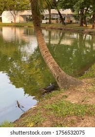 Bangkok, Thailand - November 10, 2019: Monitor lizard (Varanus salvator) live in Lumpini park, Bangkok, Thailand