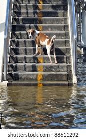 BANGKOK, THAILAND -NOVEMBER 9: A dog on steps after heavy flooding from monsoon rain in Ayutthaya and north Thailand arriving in Bangkok on NOVEMBER 9, 2011 in Bangkok, Thailand.