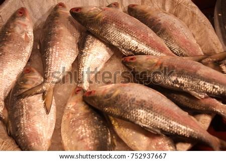 Bangladeshs national fish A