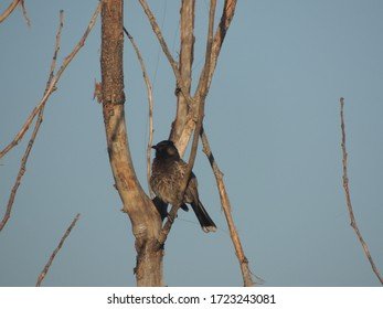 Banigalla, Islamabad, Pakistan - 5 May 2020: Nightingale bird on a tree, beautiful nature, Asian nightingale bird