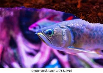 Banjar Red Arowana Fish view in close up in an aquarium