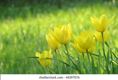 bank of brilliant yellow tulips against backdrop of sunlit grass