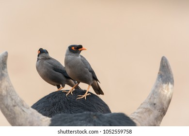A Bank Myna(Acridotheres ginginianus) perched on a cow, Gujarat, India