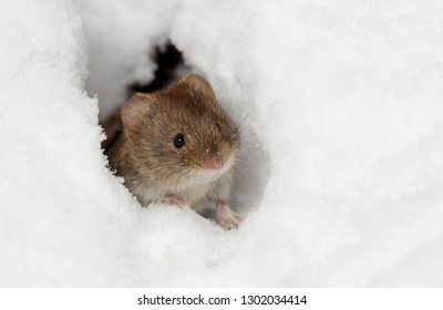 Bank Vole at Entrance to Tunnel under Snow