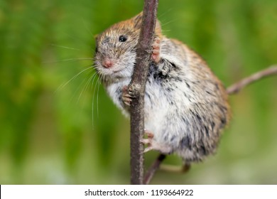 Bank vole Myodes glareolus in forest