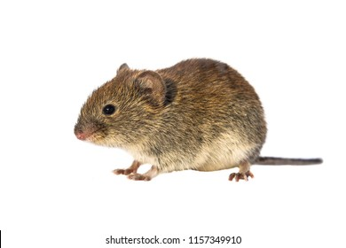 Bank vole (Myodes glareolus; formerly Clethrionomys glareolus). Small vole with red-brown fur walking on white background