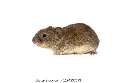 Bank vole (Myodes glareolus; formerly Clethrionomys glareolus). Small vole with red-brown fur on white background