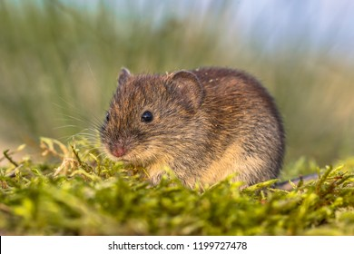 Bank vole (Myodes glareolus; formerly Clethrionomys glareolus). Small vole with red-brown fur in backyard grass field