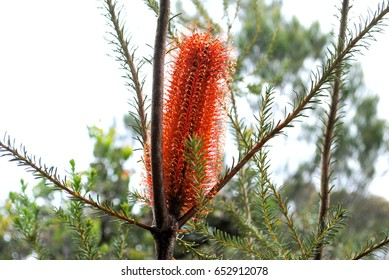 Banksia flower spikes after the rain