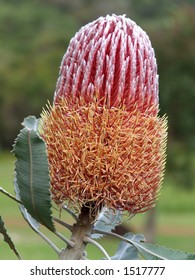 Banksia Menzies - A native Australian flower