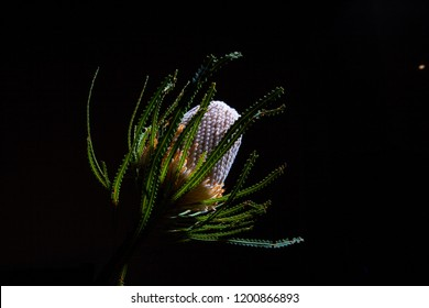 Banksia wild flower glowing on black background with copy space