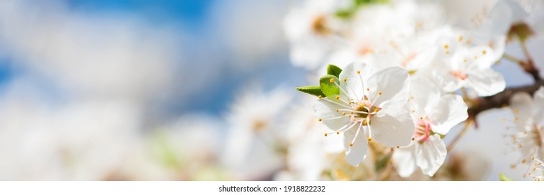 Banner 3:1. Close-up white cherry blossom sakura in spring time against blue sky. Nature background. Soft focus
