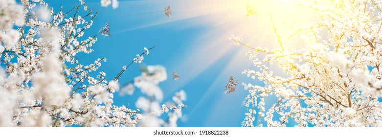 Banner 3:1. White cherry blossom sakura with flying butterflies in spring time against blue sky. Nature background. Soft focus