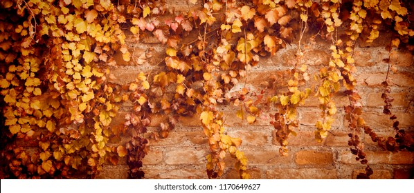 banner and background for foliage and autumn concept. Brick wall wallpaper with maple leaves. Creeper