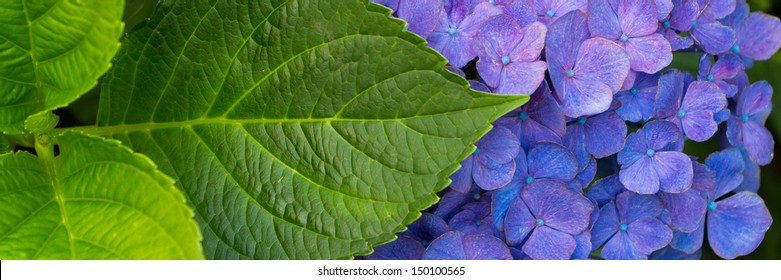 Banner of a blue Hortensia flower with leaves