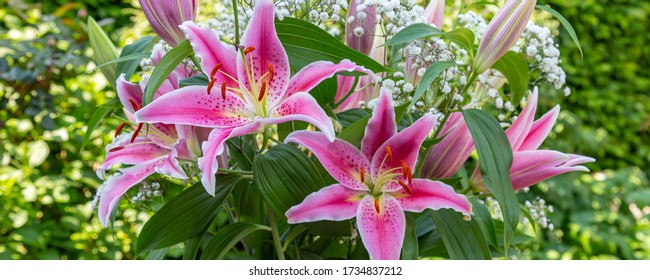 Banner with close up of a beautiful pink lilly flower