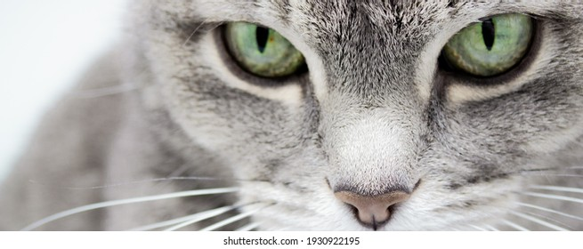 Banner of a close up of a gray cat with green eyes and a pink nose looking into the frame