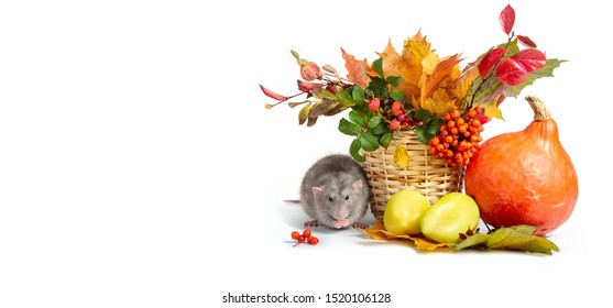 Banner. Cute rat dumbo on a white isolated background. Mountain ash, rose hips and autumn colored leaves in a wicker basket. Pumpkins and bell peppers. Rat is a symbol of Chinese New Year 2020