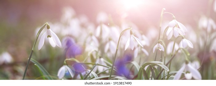 Banner first snowdrops in the forest. Spring primrose. Blurred background sunlight. Website template.