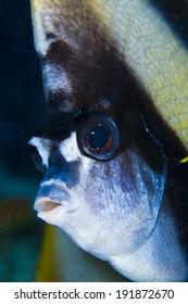 Banner fish portrait