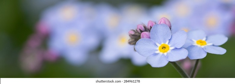 Banner Forget me not flowers