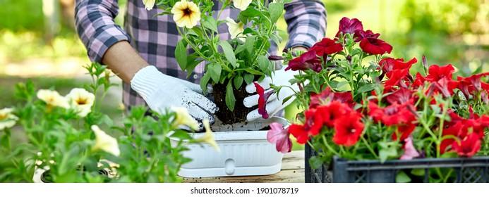 Banner Gardener Pflanzung mit Blumenkästen Werkzeuge. Frau Hand, die Blumen pflanzt Petunia hinter Holztisch im Sommergarten zu Hause, im Freien. Das Konzept von Gartenbau und Blumen.