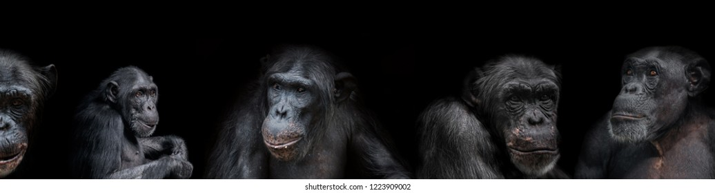 Banner of group of chimpanzees portraits isolated on black background
