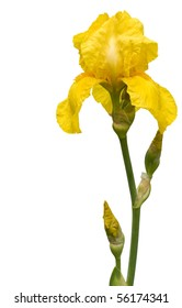 Banner  with isolated  on white  rare yellow  iris.