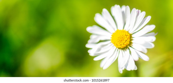 Banner masthead daisy flowers panorama for website advertising with copy space
