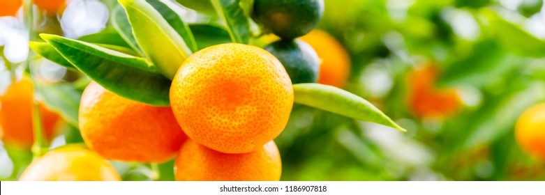 Banner with Orange Calamondine fruits  and foliage on dwarf  tree. Calamondin Citrus microcarpa or Citrofortunella microcarpa or  Citrofortunella mitis. Orange citrus fruits grow on citrus tree