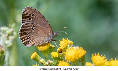 Banner photo of the ringlet (Aphantopus hyperantus)