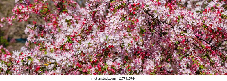 Banner with Pink flowers of Wild Apple tree. Spring background with Apple tree blossom. Malus floribunda, common name Japanese flowering crabapple, Japanese crab, purple chokeberry, or showy crabapple