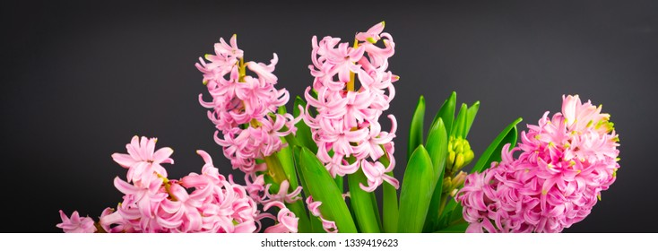Banner with pink hyacinths, black background