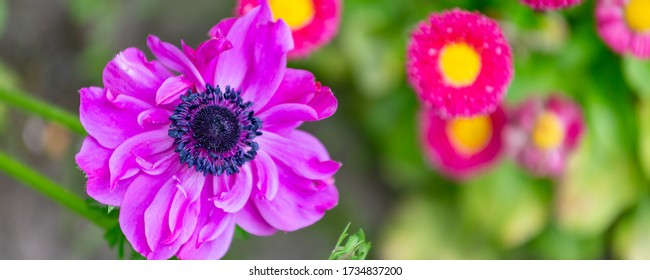 Banner with pink spring flower Poppy Anemone (Anemone coronaria) iin natura context with copy space.