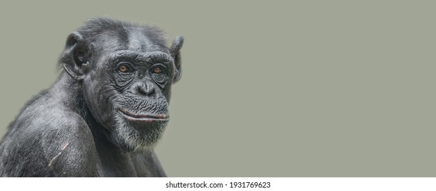 Banner with a portrait of a happy adult Chimpanzee, smiling and thinking, closeup, details with copy space and solid background. Concept biodiversity and wildlife conservation