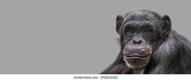 Banner with a portrait of happy smiling Chimpanzee, closeup, details with copy space and solid background. Concept biodiversity, animal care and welfare and wildlife conservation