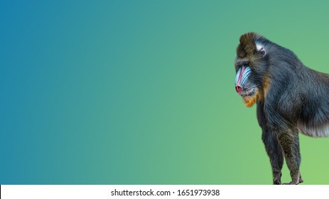 Banner with portrait of a mature alpha male of colorful African mandrill at smooth gradient blue and green background with copy space