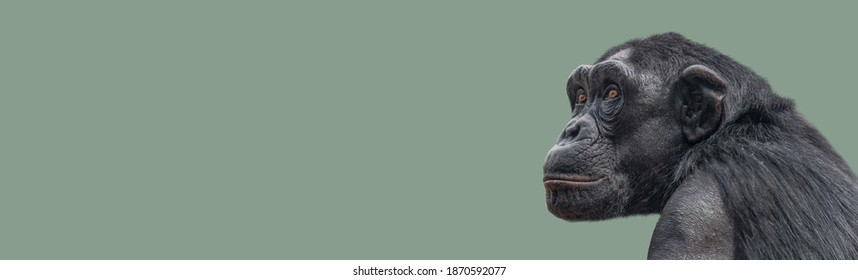 Banner with a portrait of smart looking chimpanzee closeup with copy space and solid background. Concept of wildlife conservation, biodiversity and animal intelligence