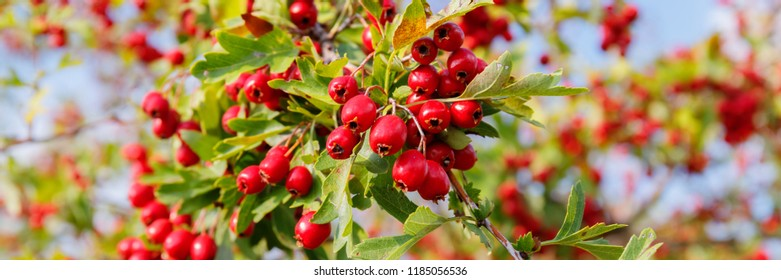 Banner with Red fruit of Crataegus monogyna, known as  hawthorn or single-seeded hawthorn ( may, mayblossom, maythorn, quickthorn, whitethorn, motherdie, haw )