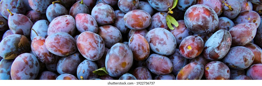 Banner. Ripe plums. Close up of fresh plums, top view. Macro photo food fruit plums. Texture background of fresh blue plums. Image fruit product. D'Agen French prune plum. Plum with a few leaves.