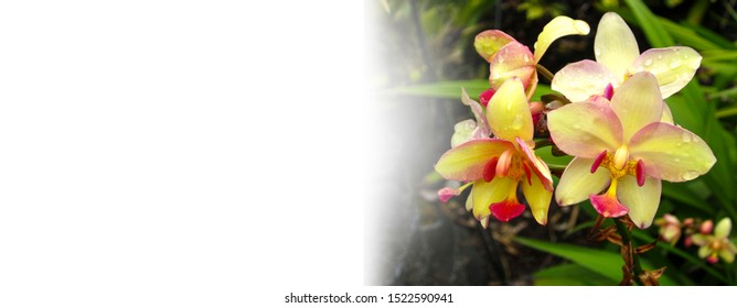 Banner shape, Decorative small yellow and pink Orchids, Lively, Bright Orchids with water drops. Trina Isaacs