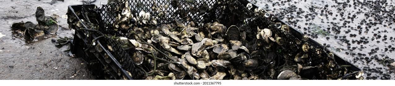 Banner size-Oyster farming and oyster beds in Wellfleet Massachusetts