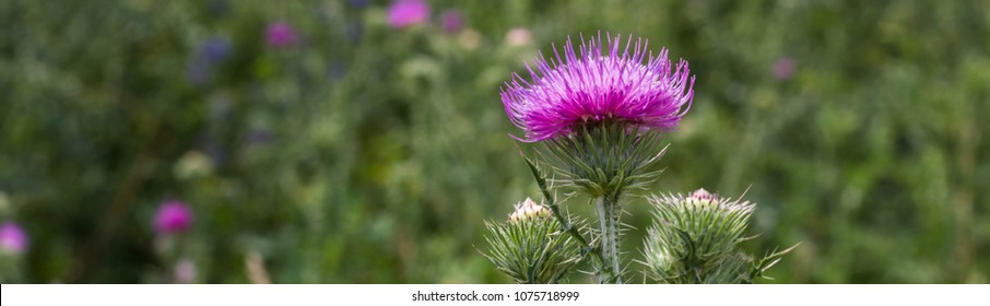 Banner of Thistle buds and flowers on a summer field. Thistle flowers is the symbol of Scotland.