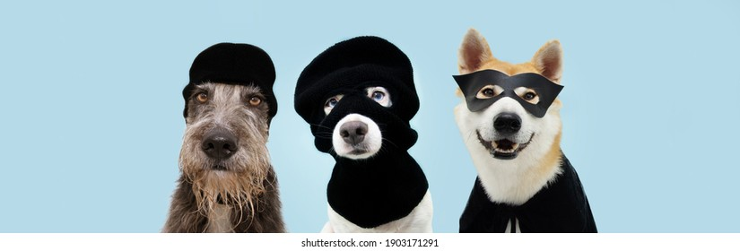 Banner three funny pets dog robbers and hero wearing balaclava ski mask. Isolated blue background. Carnival or halloween concept.