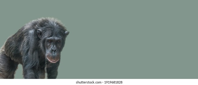 Banner with a walking old Chimpanzee portrait at solid light green background with copy space for text. Concept biodiversity and wildlife conservation