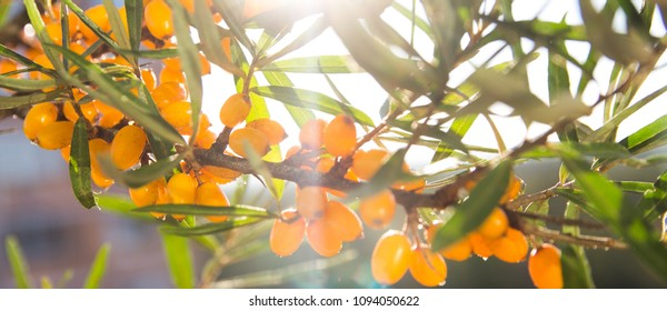 banner for website , ripe sea-buckthorn berries with leaves-Sunny autumn day