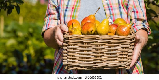 Banner. Wicker basket with pears in women's hands, gardener's hands holding a pear crop, close-up, sunlight. Autumn harvest, harvest or harvest. - Shutterstock ID 1916688302