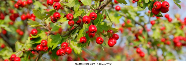 Banner with wild Red fruit of Crataegus monogyna, known as  hawthorn or single-seeded hawthorn ( may, mayblossom, maythorn, quickthorn, whitethorn, motherdie, haw )